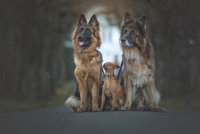 Deutscher Schäfer Hundeshooting, Hundefotos Luzern