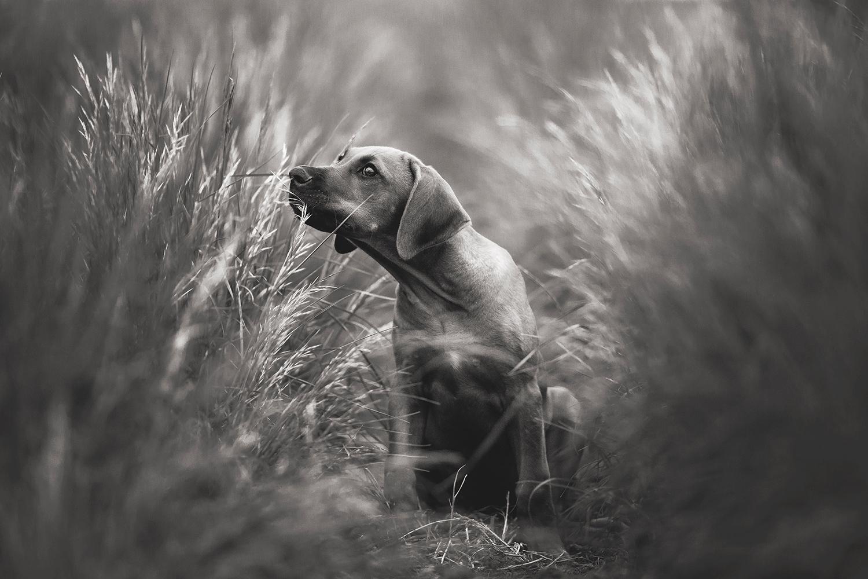 Hundeshooting Reitnau, Hundeshooting Rhodeisan Ridgeback, Hundeshooting Aargau, Hund und Mensch Shooting